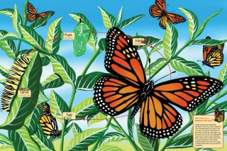 COBBLE HILL Life Cycle of the Monarch Butterfly 55102