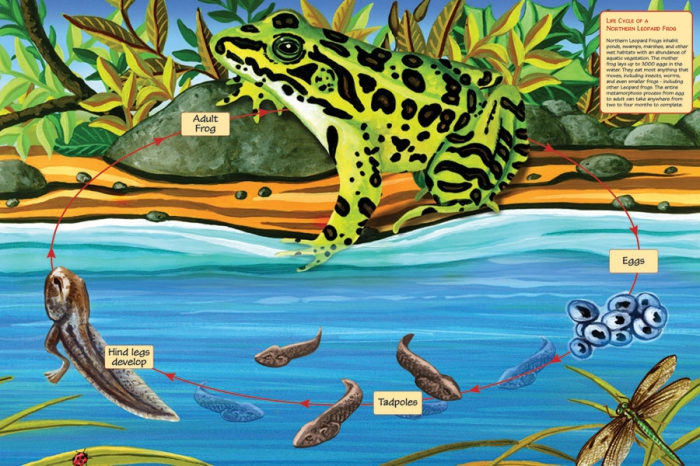 COBBLE HILL Life Cycle of the Northern Leopard Frog 55103